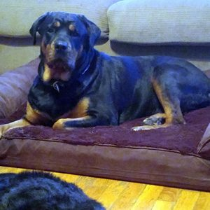 Dog Couches for Large Dogs