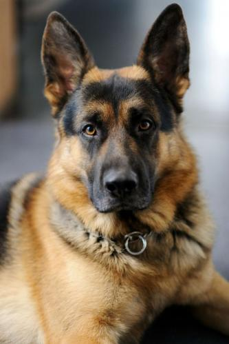 german-shepherd-02