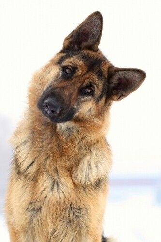 german-shepherd-09