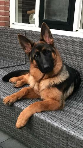 german-shepherd-10