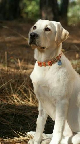 labrador-retriever-08