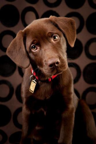 labrador-retriever-09