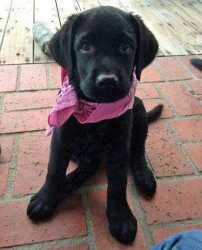 labrador-retriever-11